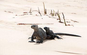 Galapagos Wildlife Iguana