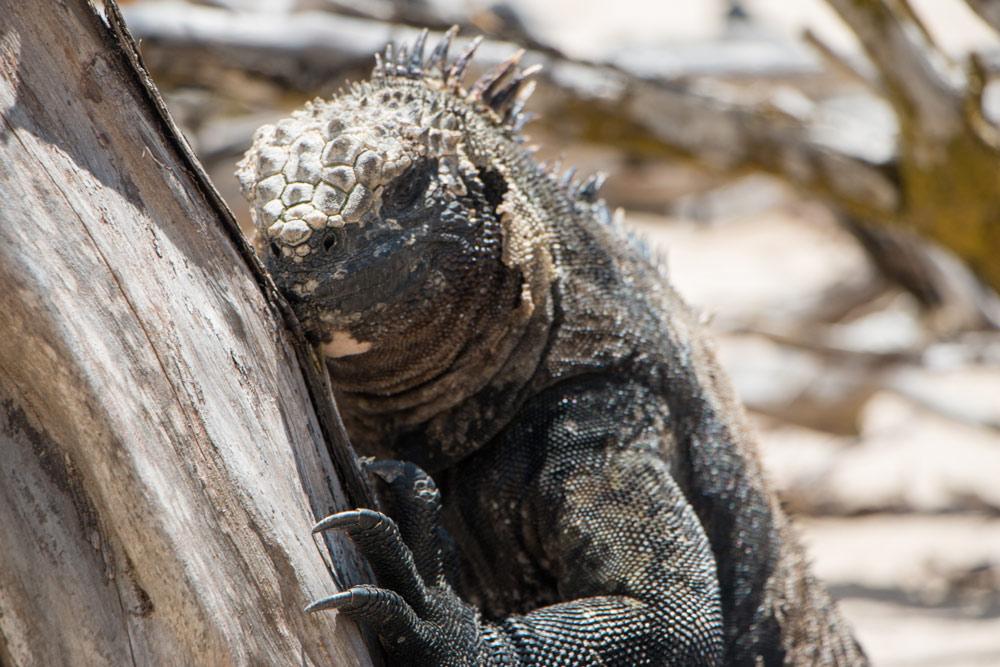 Galapagos-Iguana-Close