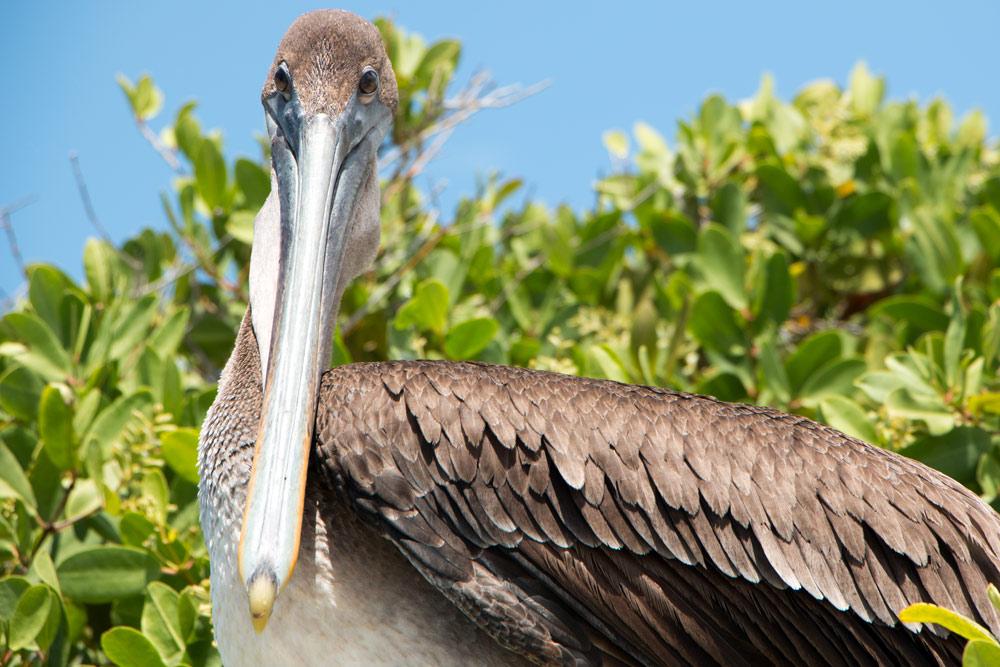 Galapagos-Isabela-Pelikan