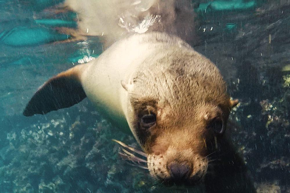Galapagos-Seawolf