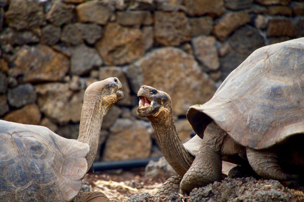 tortoise breeding centre at Isabela island